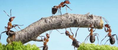 mieren met een tak